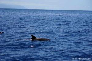 Дельфины на Тенерифе