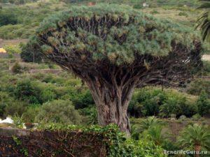 Драконово дерево El Drago