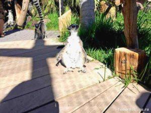 Лемуры в Джангл парке Тенерифе