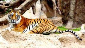 Тигр в Лоро парке